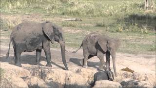 Download Social behavior in a family of elephants Video