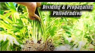 Download How to Divide Philodendrons! / Tropical Plant Party Video
