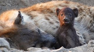 Download Hyena & Cubs Kruger Park South Africa Video