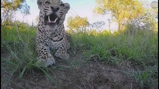 Download Safari Live : Hosana Male Leopard with Ronald the Rover and Tristan Jan 05, 2018 Video