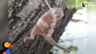 Download Crying Baby Squirrel Stuck on Thorn Rescued by Incredible People | The Dodo Video