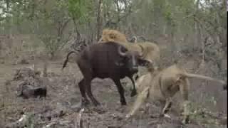 Download Buffalo Take Down Video