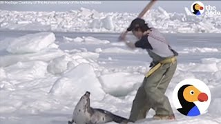 Download Vicious Seal Hunt Killing Thousands Of Baby Seals [GRAPHIC] | The Dodo Video