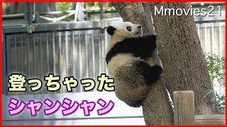 Download 丸見えシャンシャン木登りして肉球ペロペロ 上野動物園ジャイアントパンダ Video