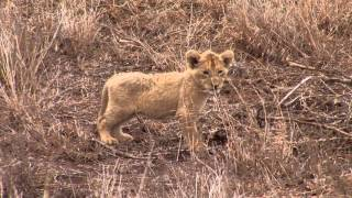 Download Lion Cubs Video
