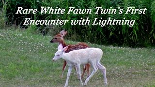 Download Rare White Fawn's First lightning Encounter Video