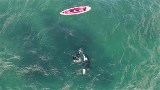 Download Orca and Kayaker Encounter Caught on Drone Video Video