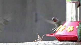 Download Praying Mantis Attacks Hummingbird Video