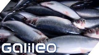 Download Zu Besuch in der größten Fischfabrik Europas | Galileo | ProSieben Video