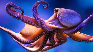 Download The Amazing Octopus Video
