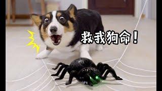 Download 家里惊现大蜘蛛,狗狗连忙户主,不料看到蜘蛛后狗狗也怂了 Video