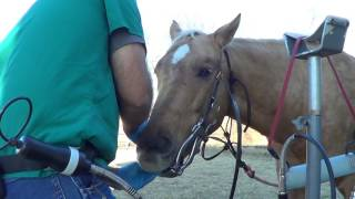 Download Equine Dentistry Floating Horse Teeth 5 of 6 - Inspecting A Horse Who Has Never Been Floated Video