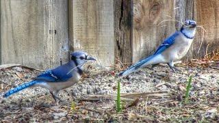 Download Blue Jay Couple Building Nest Video