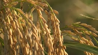 Download American rice farmers bank on exports to China Video