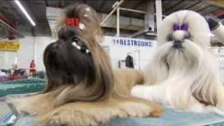 Download Dogs 101 Shih Tzu Video