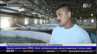 Download До 50 тонн осетровых в год планируют выращивать в Алматинской области Video