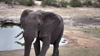 Download Djuma: Two Elephant bulls - 16:38 - 10/18/18 Video