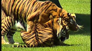Download 2018.04.16 Texas Tiger Trio on Vacation Video