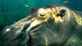 Download What's New with Hippos - Cincinnati Zoo Video