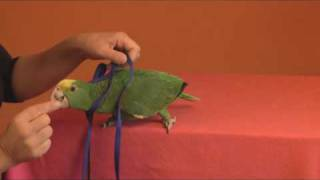 Download Tips to Harness Train a Parrot - GoodBirdInc Video