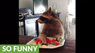 Download Compilation of pet raccoon's snack time Video