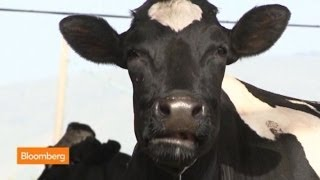 Download The Super Cows Making Israel Flow With Milk Video