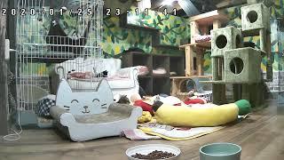 Download 子猫の部屋Live@笑にゃんこ王国(秩父) [Cat live] Video