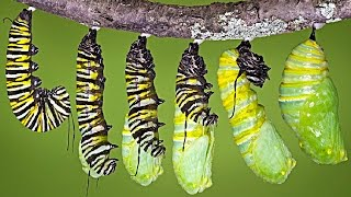 Download What REALLY Happens When a Caterpillar Turns Into a Butterfly... Video