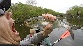 Download Kayak fishing for shad and fishing for catfish - Catfishing with shad - catch shad with lures Video