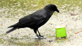 Download Smart Crow Vs Starbucks Box with Peanuts Video