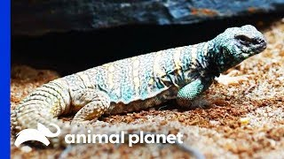 Download Dinosaur Themed Enclosure For Two Gorgeous Uromastyx Lizards   Scaled Video