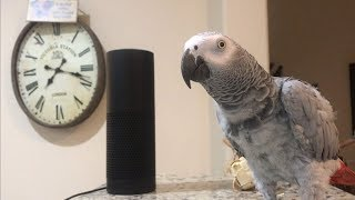Download Smartest most conversational parrot ever. Petra the home automation expert, african grey Video