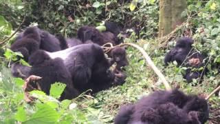 Download Rwanda Mountain Gorillas Video