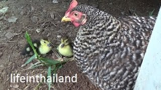 Download Momma chicken and her newly hatched baby ducks. Video