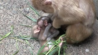 Download Angry mom bullied the baby monkey newborn Video
