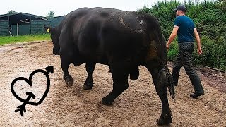 Download this HUGE BULL has a LOVE HEART TATTOO!! - how to trim bulls feet | The Hoof GP Video