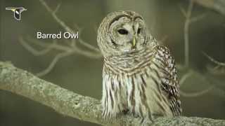 Download The Distinctive Calls of Owls: A Sampler Video