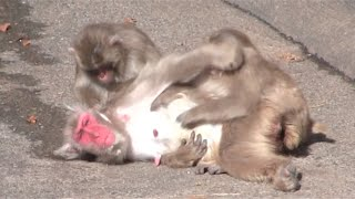 Download A baby monkey is got angry at by mom. Video