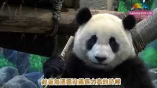 Download 動物園桂竹筍收成-大貓熊圓仔忙嚐鮮 Giant Panda Yuan Zai Tasted Makino Bamboo Shoot Video
