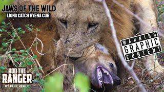 Download Lions Take Out Hyena Cub At The Hyena Den (4K Video) Video