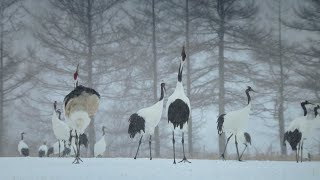 Download Trying To Save The Red Crowned Cranes Of Japan | Wild Japan | BBC Video