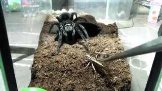 Download Tarantula feeding video 3 Video