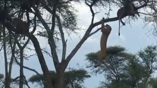 Download Monkey Climb Up On Tree For Safety, Lion Climb As Well To Look For Food Video