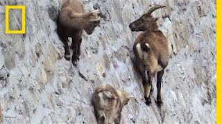 Download Amazing Footage: Goats Climbing on a Near-Vertical Dam | National Geographic Video