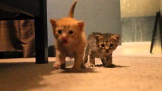Download 3 week old kittens walking around Video