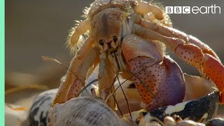 Download Amazing Crabs Shell Exchange | Life Story | BBC Earth Video