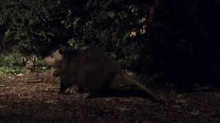 Download Backyard Wildlife: Big Beautiful Solid Possum - Thursday 09-28-2017 Video
