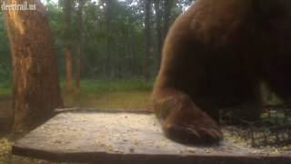 Download Early Evening Bear Visit 6 19 17 Video