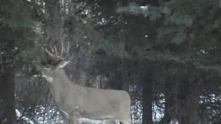 Download 300+ pound 11 point Saskatachewan Bruiser Buck at 18 steps Video
