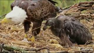 Download Decorah North Eagles,Floppy Fish & Wad Of Grass/Hay 5/16/19 Video